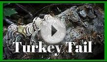 Turkey Tail | Medicinal Mushroom Mysteries | Harmonic Arts